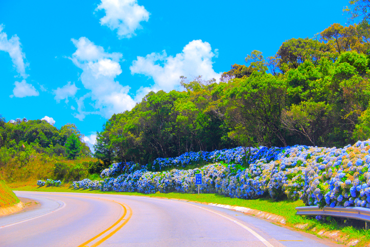Summer scene on mountain road with blue hydrangeas along plateau region of Santa Catarina state, BR282, Southern Brazil