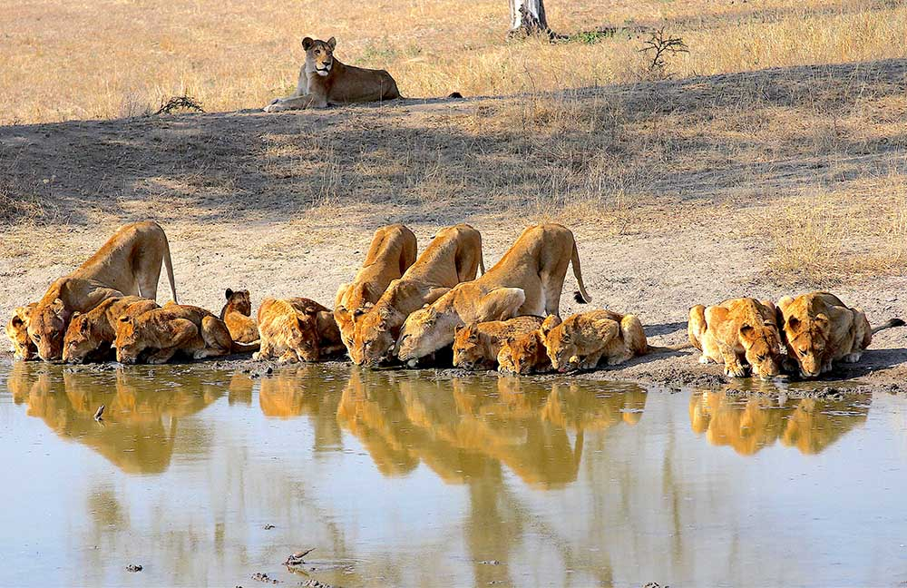 Alcateira de leoes no Sabi Sabi: safari africa do sul