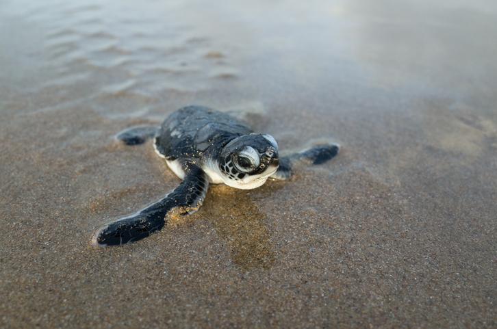 Newborn hatchling green sea turtle crawls across a beach toward the Arabian Sea for its very first time. Shela, Lamu Island, Kenya.