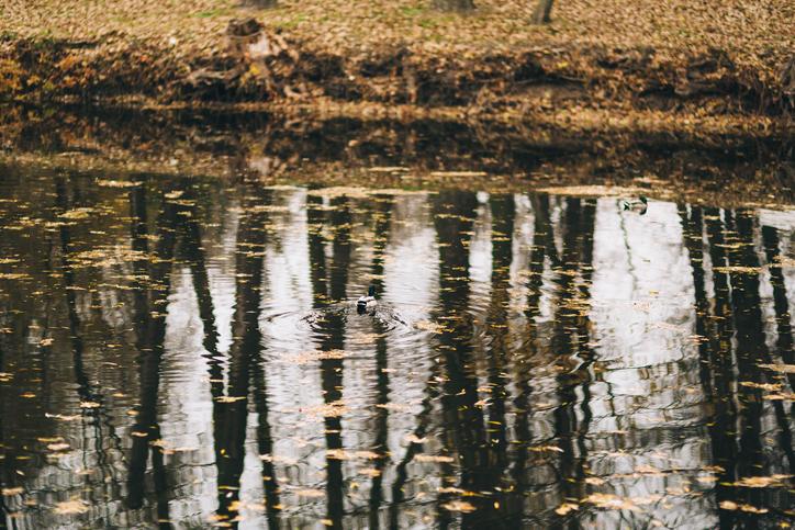 Wild ducks on the lake, wildlife in park