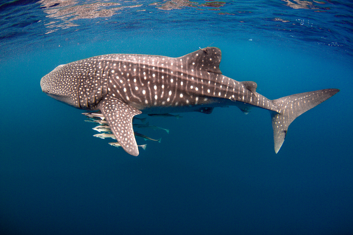 Tagged Whale Shark with Cobia on the Ningaloo Reef, Exmouth, Western Australia