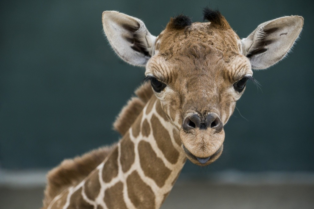busch_gardens_tampa_bay_march_baby_giraffe_003