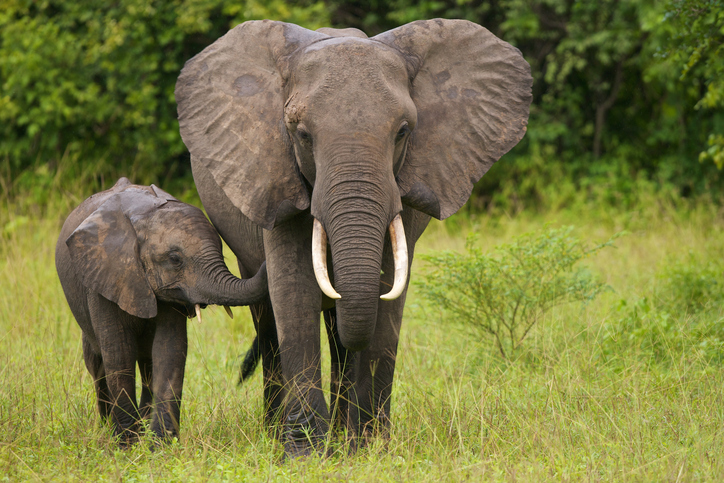 Mother elephant with her calf.