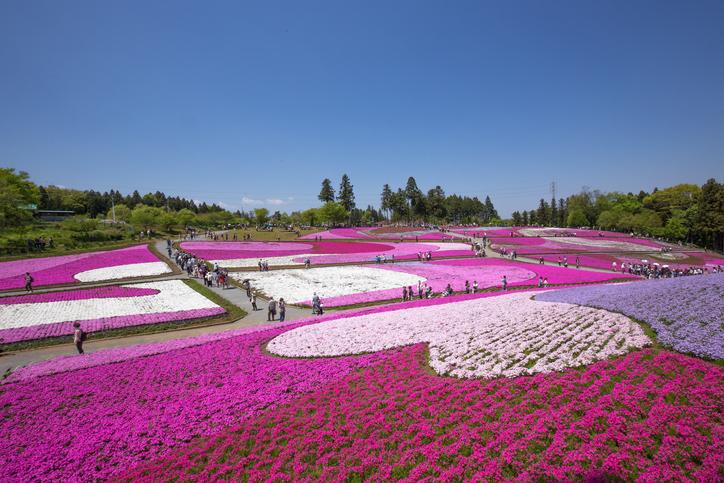 Phlox that bloom on one side (Saitama Hitsujiyama park)