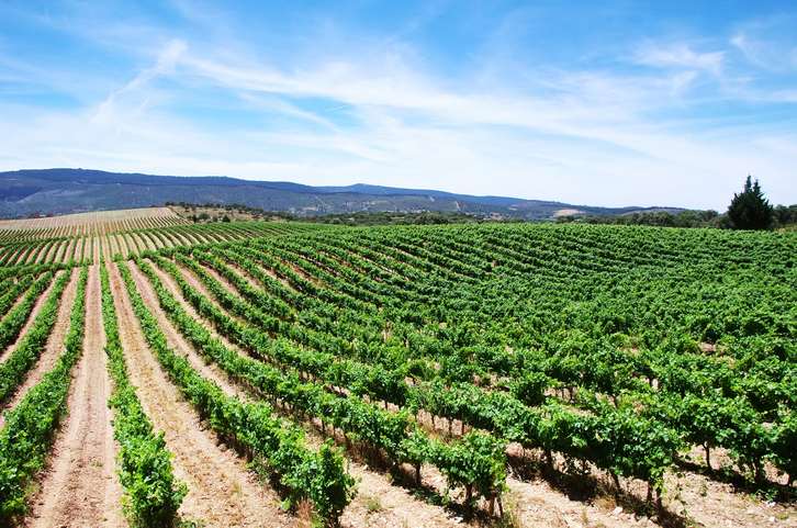 Vineyard at Alentejo region