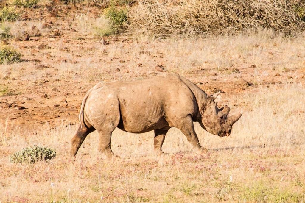 Tracking de rinoceronte-negro na Namibia