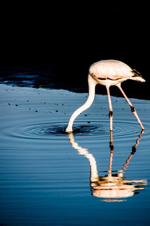 flamingo_walvis_bay
