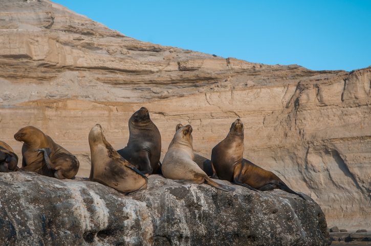Sea lion Male in colony, patagonia Argentina