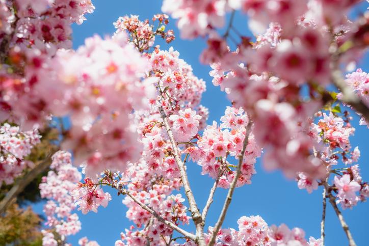 Flor de cerejeira com fundo azul e foco em segundo plano