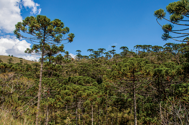 View of treetops in the middle of a pine forest in Horto Florestal, near Campos do Jordao, a city famous for its mountain and hiking tourism. Located in the São Paulo State, southwestern Brazil
