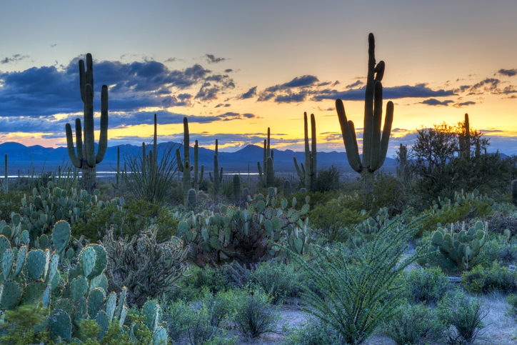 Sunset in Saguaro National Park near Tucson, Arizona.