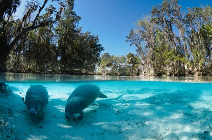 Foto por ©CGrant13/oceangrant.com / Discover Crystal River Florida