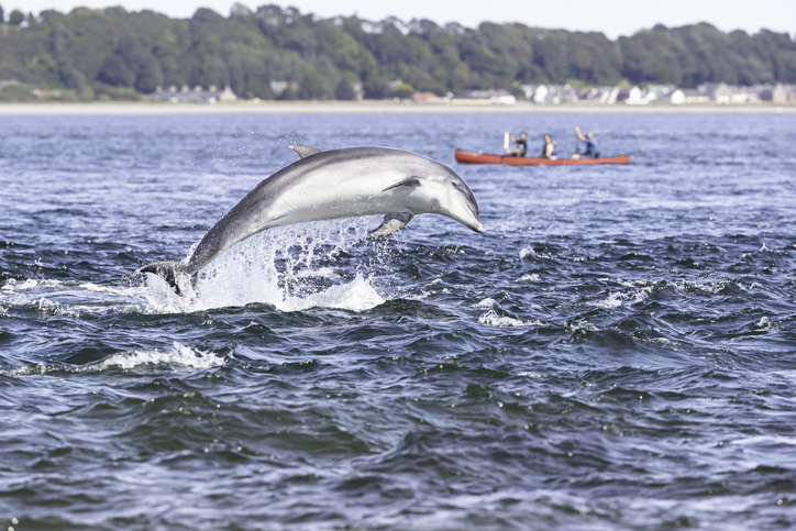 wild bottlenose dolphin breaching in front of a lucky family on kayaki in Scotland