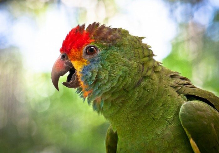 papagaio-chaua