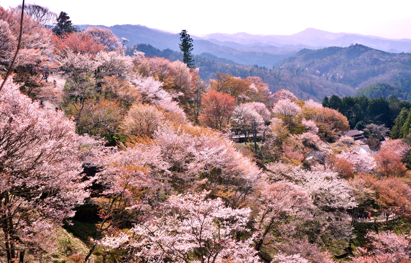 Beautiful,Cherry,Blossom,Flowers,At,Mount,Yoshino
