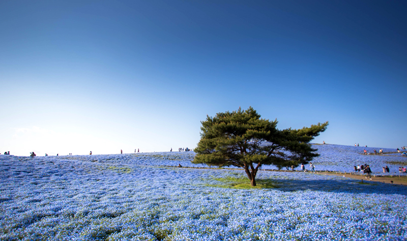 Tree,And,Nemophila,Flower,At,Hitachi,Seaside,Park,In,Spring,