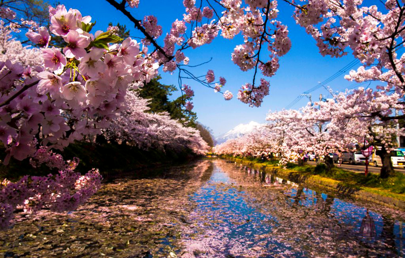 Sharp,Sakura,Flowers,On,The,Left,With,Blur,Background,At