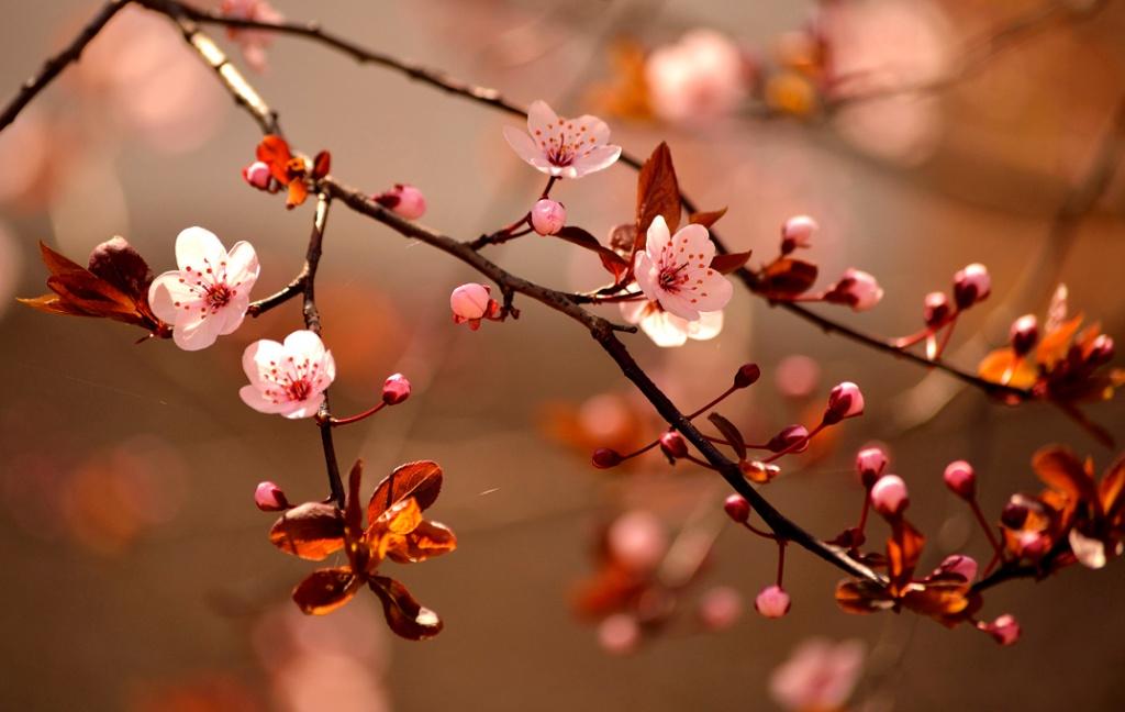 japao-sakura-shutterstock-111817763