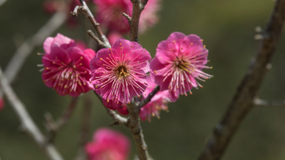 Plum,Blossoms,In,Kairakuen,Park,,One,Of,Famous,Three,Great
