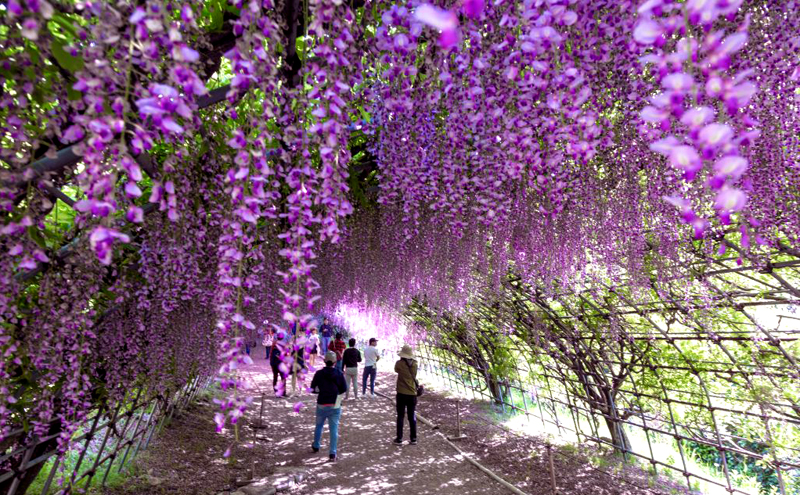 "Tunnel,Of,Wisteria,Of,""kawachi,Fujien"",In,Fukuoka,Prefecture,Of"