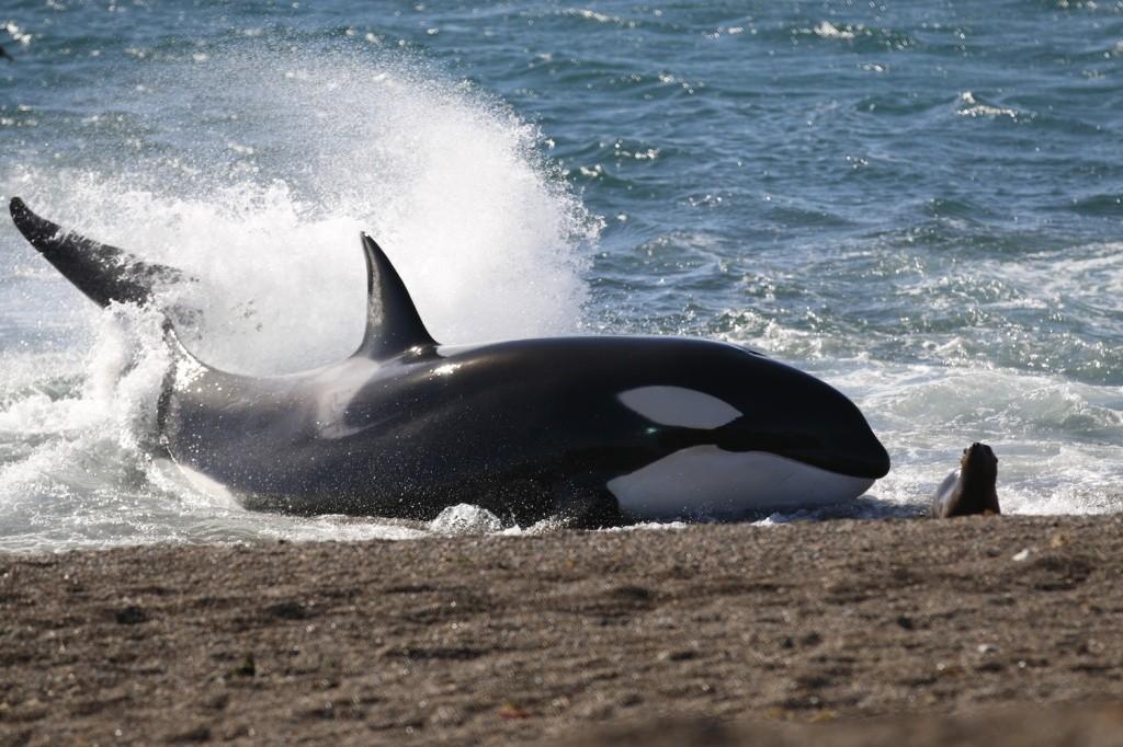 peninsula-de-valdes-volvieron-las-orcas-que-varan-intencionalmente-para-comer-11