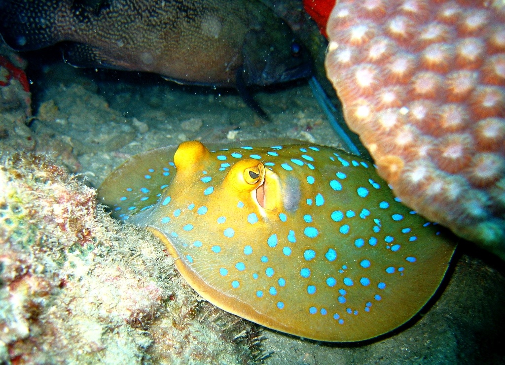 Blue_spotted_stingray commons wiki tailândia