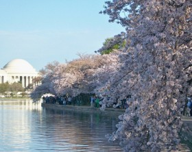 cerejeiras 1