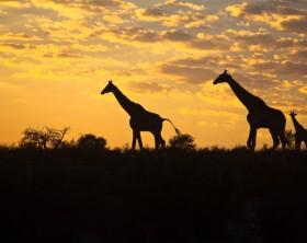 Three Giraffe (Giraffa camelopardalis) silhouetted against a sunrise cloudscape sky in the Kalahari desert, Kgalagadi transfrontier park, South Africa.