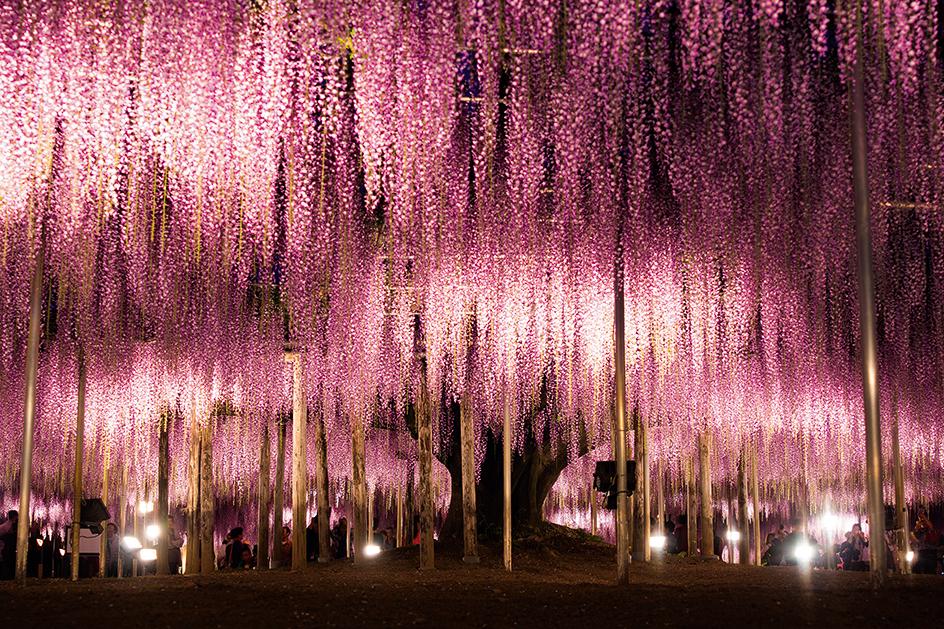 """Conhecida como """"flor da ternura"""", as flores da Glicínia nascem em cachos e se espalham por toda a extensão do jardim Kawachi Fuji."""