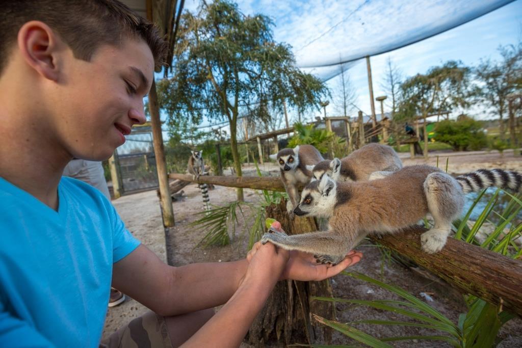 safari-wilderness-ranch-lemur-feeding-boy-feeds-lemurs-1