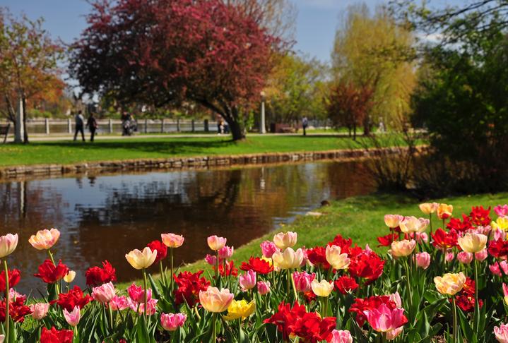 """Tulips in Canadian Tulip Festival in Ottawa, Canada."""