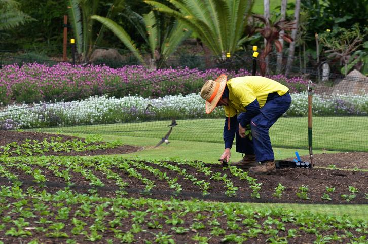 Brisbane, Australia - September 24, 2014: Gardner planting plants at Brisbane City Botanic Gardens. The Gardens include many rare and unusual botanic species of plants, flowers and trees.