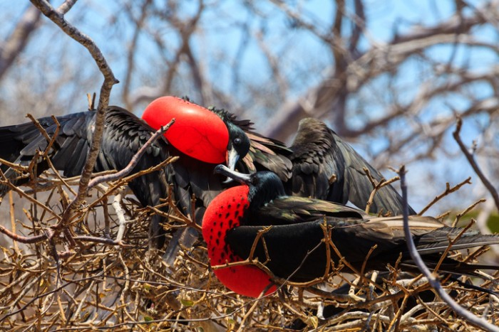 Two male frigate birds showing their red gular sac in a tree.