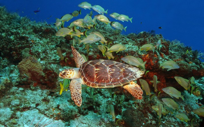 Hawksbill Turtle (Eretmochelys imbriocota) and schol of grunts over a coral reef in Cozumel Mexico