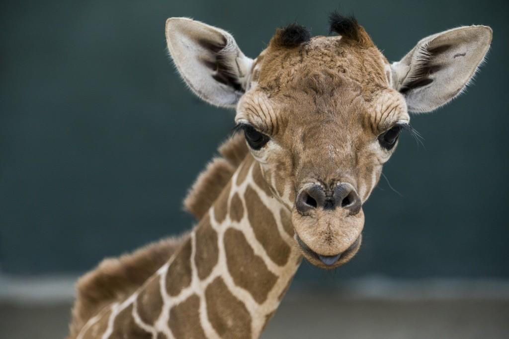 busch_gardens_tampa_bay_march_baby_giraffe_003