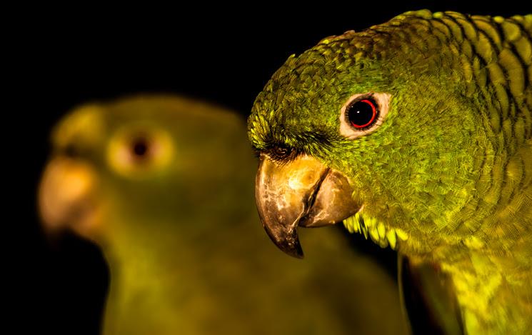"Brazilian parrot called ""papagaio-moleiro"", Ilhabela, Brazil"