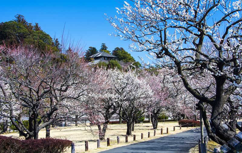 Plum,Blossom,In,Kairakuen,Garden,,Mito,,Japan