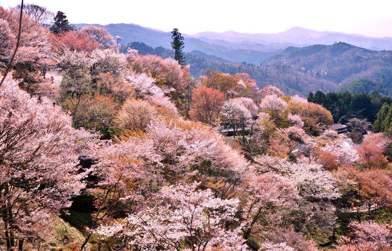 Beautiful,Cherry,Blossom,Flowers,At,Mount,Yoshino
