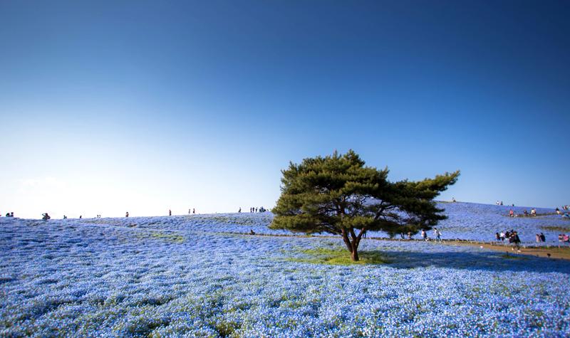 Tree,And,Nemophila,Flower,At,Hitachi,Seaside,Park,In,Spring,