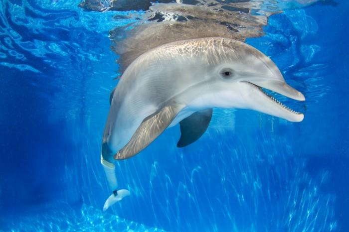Golfinho Winter no Clearwater Marine Aquarium. Foto por Visit St. Petersburg/Clearwater