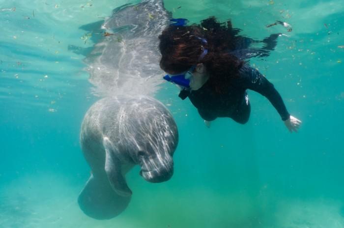Snorkeling com os peixes-boi. Foto por ©CGrant13 / Discover Crystal River Florida