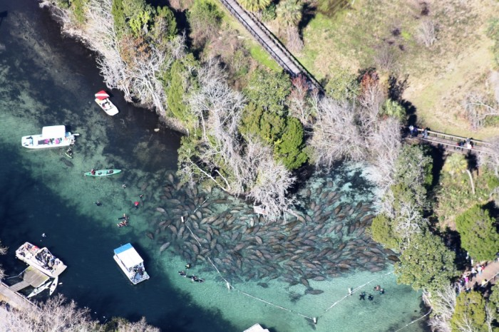 Vista aérea das Three Sisters Springs, com dezenas de peixes-boi. Foto por Joyce Kleen / Discover Crystal River Florida