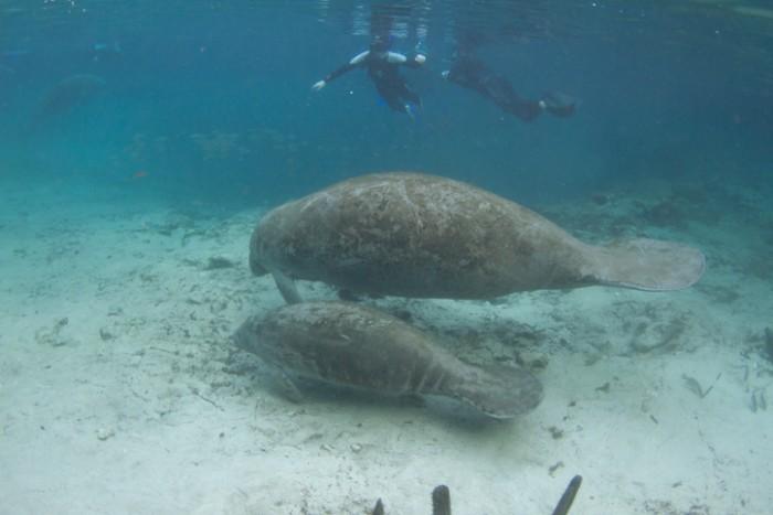 Snorkeling com os peixes-boi. Foto por iStock / pclark2
