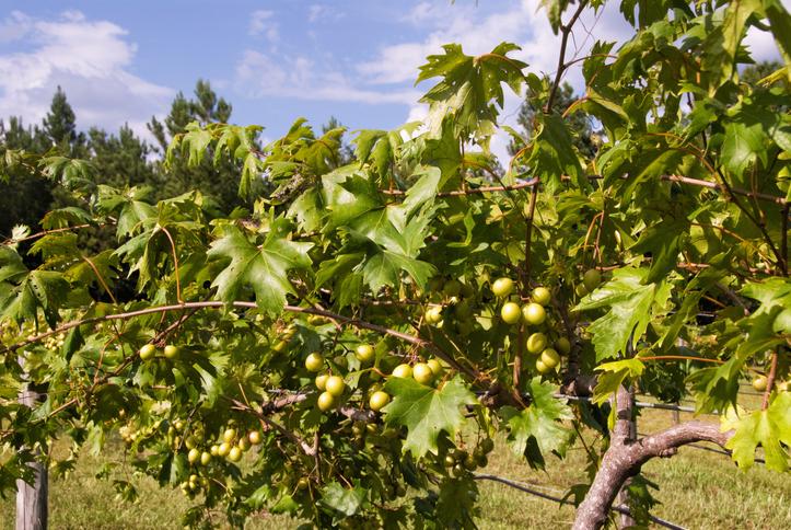 Uvas Muscadine, nativas do sul dos Estados Unidos. Foto por iStock / LCBallard